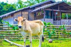 吃草在地方自给农作的母牛 图库摄影