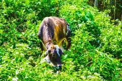吃草在地方自给农作的母牛 免版税库存照片