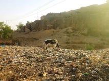 吃草在垃圾坑的皮包骨头的家养的母牛在郊外  库存照片