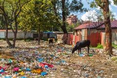 吃草在垃圾潮湿的母牛 库存图片