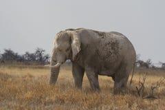吃草在埃托沙国家公园,纳米比亚的老化公牛非洲大象 图库摄影