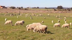 吃草在埃斯特雷马杜拉草甸的绵羊  免版税图库摄影