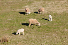 吃草在埃斯特雷马杜拉草甸的绵羊  库存图片