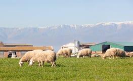 吃草在埃斯特雷马杜拉草甸的绵羊  免版税库存照片