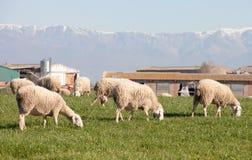 吃草在埃斯特雷马杜拉草甸的绵羊  图库摄影