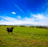 吃草在埃斯特雷马杜拉dehesa的战斗的公牛 库存图片