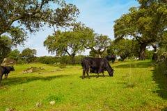 吃草在埃斯特雷马杜拉dehesa的战斗的公牛 图库摄影