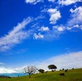 吃草在埃斯特雷马杜拉dehesa的战斗的公牛 库存照片