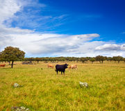 吃草在埃斯特雷马杜拉dehesa的战斗的公牛 免版税库存图片