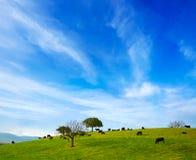 吃草在埃斯特雷马杜拉dehesa的战斗的公牛 免版税图库摄影