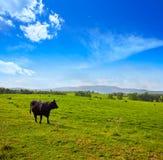 吃草在埃斯特雷马杜拉dehesa的战斗的公牛 免版税库存照片