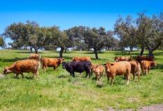 吃草在埃斯特雷马杜拉Dehesa西班牙的母牛 免版税库存图片