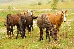 吃草在域的马 免版税图库摄影