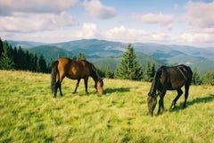 吃草在夏天山的野马 库存照片