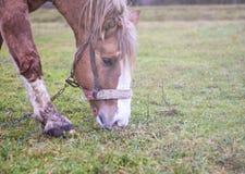 吃草在夏天牧场地的一匹红色吃草的马的图象 库存照片