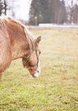 吃草在夏天牧场地的一匹红色吃草的马的图象 库存图片
