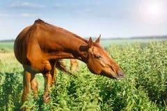 吃草在夏天牧场地的一匹红色海湾马的图象 库存图片