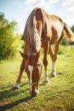 吃草在夏天牧场地的一匹红色海湾马的图象 免版税库存照片