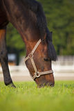 吃草在夏天牧场地的布朗公马 免版税库存图片