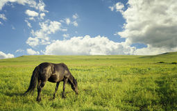 吃草在夏天牧场地的马 免版税图库摄影