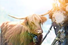 吃草在夏天的高地居民苏格兰母牛 库存图片