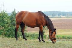 吃草在大农场的马 免版税图库摄影