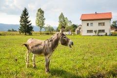 吃草在大农场的驴 免版税库存照片
