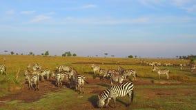 吃草在大草原的斑马和长颈鹿在非洲 影视素材