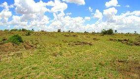 吃草在大草原的斑马在非洲 股票视频