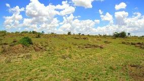 吃草在大草原的斑马在非洲 影视素材