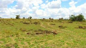 吃草在大草原的斑马在非洲 股票录像