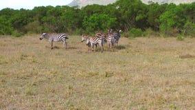 吃草在大草原的斑马牧群在非洲 影视素材