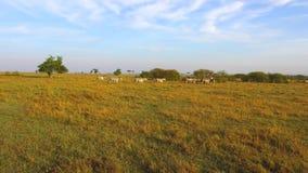吃草在大草原的斑马牧群在非洲 股票视频