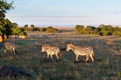 吃草在大草原的斑马牧群在非洲 免版税库存图片