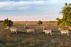 吃草在大草原的斑马牧群在非洲 免版税库存照片
