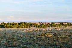 吃草在大草原的斑马牧群在非洲 库存照片