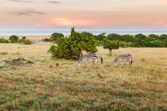吃草在大草原的斑马牧群在非洲 免版税图库摄影