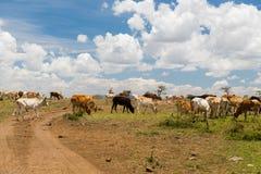 吃草在大草原的母牛在非洲 免版税库存照片