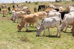 吃草在大草原的母牛牧群在非洲 图库摄影