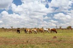 吃草在大草原的母牛牧群在非洲 库存图片