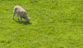 吃草在大草原的羊羔 免版税库存图片