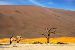 吃草在大草原的羚羊属 免版税库存图片