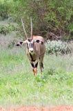 吃草在大草原的羚羊属 图库摄影