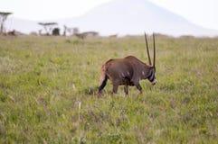 吃草在大草原的羚羊属 库存图片