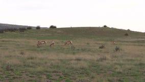 吃草在大草原的Pronghorn牧群 免版税库存图片