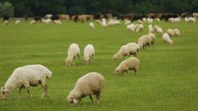 吃草在宽敞农厂草甸,肉食品生产的牛动物和绵羊 影视素材
