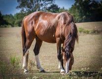 吃草在密西西比的马 免版税库存图片