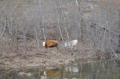 吃草在小山的两头母牛 免版税库存照片
