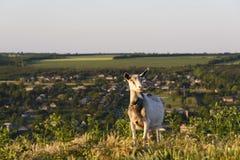 吃草在小山的山羊 库存图片