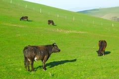 吃草在小山的牛草 库存照片